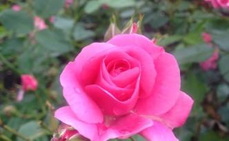 Rose in the Stephen & Elizabeth Zoltai Garden